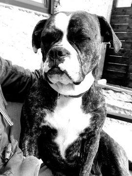 Old English Bulldog Hündin sucht ein zu Hause