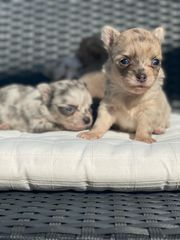 4 Besondere Chihuahua Welpen Merle