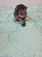 Zucker Süße Baby Katze