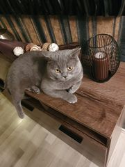 Süße BKH Katzenbabys