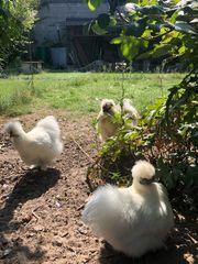 Zwergseidenhühner weiß Stamm 3 Hennen