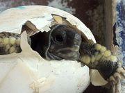 Noch zwei kleine Griechische Landschildkröten