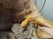 Zwei Gecko Weibchen Terrarium mit