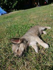2 Chihuahua Welpen weiblich auszugsbereit