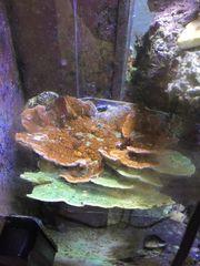 Meerwasser Aquarium montipora plate