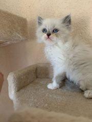 Perser kitten reinrassig mit Nase