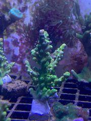 Acropora Meerwasser Koralle Ableger