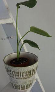 kleine Monstera Fensterblatt Zimmerpflanze Shabby