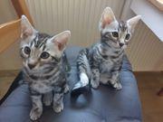 Reinrassige Bengal Kater Kitten Babies