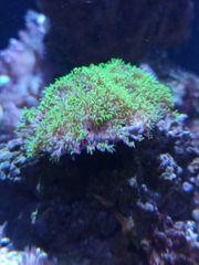 Briareum neongrün Meerwasser Koralle
