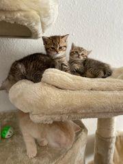 BkH Kitten reinraßige