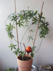 Zimmerpflanze - Passionsblume
