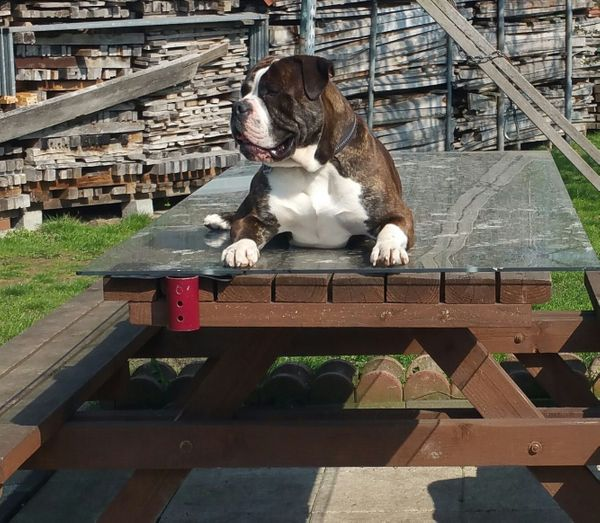 Hübscher Englisch Bulldogge Mix sucht