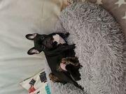 Französische Bulldogge welpen zuckersüß