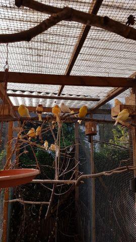 Vögel/ Kanarienvögel