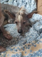 Chinese crested Rüde