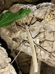 Gespenstheuschrecke lat Phasmatodea 4 99EUR