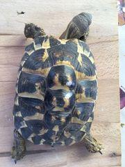 Griech Landschildkröten testudo hermammi hermanni