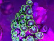 Suche Zoanthus Meerwasser Krustenanemonen