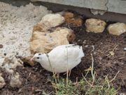 Celadon Wachten Türkiese Eier
