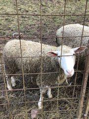 Schafe 2 Schnucken mit Lämmer