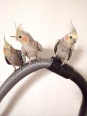 3 Junge Nymphensittiche