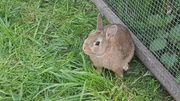 junge Farbenzwerge Zwergkaninchen Hase