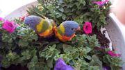Gebirgslori Papagei Lori