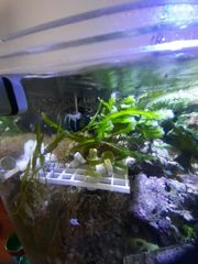 Caulerpa taxifolia Alge Meerwasser