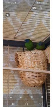 Dreifarbige Papageiamadinen Blaukopf