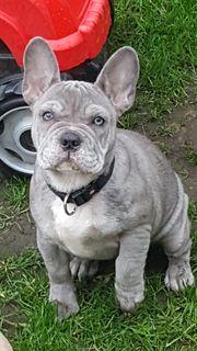 Lilac Merle Französische Bulldogge