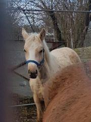 Quarter Horse Hengst Jährling Palomino