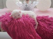 Süße reinrassige Angora Kitten