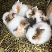 Löwenköpfchen Zwergkaninchen Kaninchen