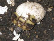 Griechische Landschildkröten THB zu verkaufen
