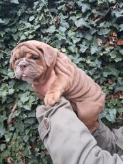 New Englisch Bulldogge female Ahnentafel