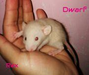 Dwarf Rattenbabies