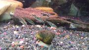 Dreistachliger Stichling - gut geg Mueckenlarven