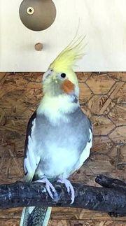 Nymphensittich Henne 1 Jahr