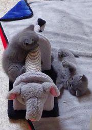 Aus Hobbyzucht 5 wunderschöne BKH-Kitten