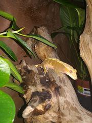 1 0 Kronengecko Correlophus Ciliatus