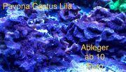 Korallen Korallenableger Meerwasser SPS LPS