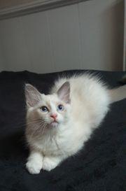 Reinrassige Bicolor Ragdoll-Kitten - Mädchen - ab