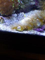 Korallen Gelbe Zoanthus kleine ableger