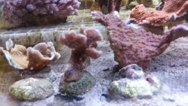 Korallen Salz Meerwasser Weich und: Kleinanzeigen aus Freudental - Rubrik Fische, Aquaristik