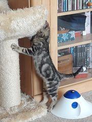 Katzenbaby männlich suchen