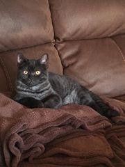 3 wunderschöne BKH Whiskas Kitten