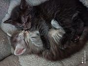 Wunderschöne Mainecoone BKH Kitten
