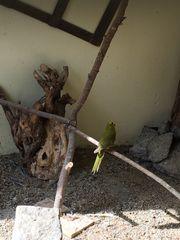Springsittiche in oliv