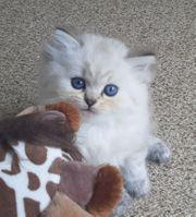 Reinrassige BKH BLH Kitten mit